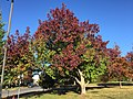 2017-11-10 15 14 41 Bradford Pear in late autumn at the Oak Hill Elementary School along Kinross Circle in Oak Hill, Fairfax County, Virginia.jpg
