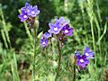 20170605Anchusa officinalis3.jpg