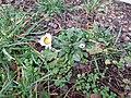 2018-01-12 (102) Bellis perennis (Daisy) at Haltgraben, Frankenfels.jpg