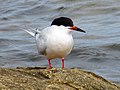2020-07-18 Sterna dougallii, St Marys Island, Northumberland 07.jpg