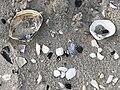 2020-10-18 17 08 01 Sea shells on the beach near East 9th Street in Barnegat Light, Ocean County, New Jersey.jpg
