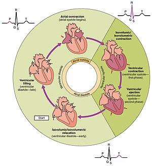 Cardiac physiology - The cardiac cycle as correlated to the ECG