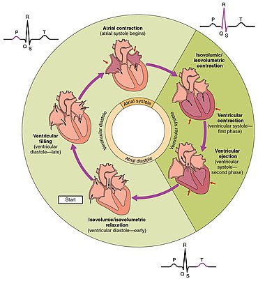 Cardiac cycle wikipedia the cycle diagram depicts one heartbeat of the continuously repeating cardiac cycle namely ventricular diastole followed by ventricular systole etc ccuart Gallery