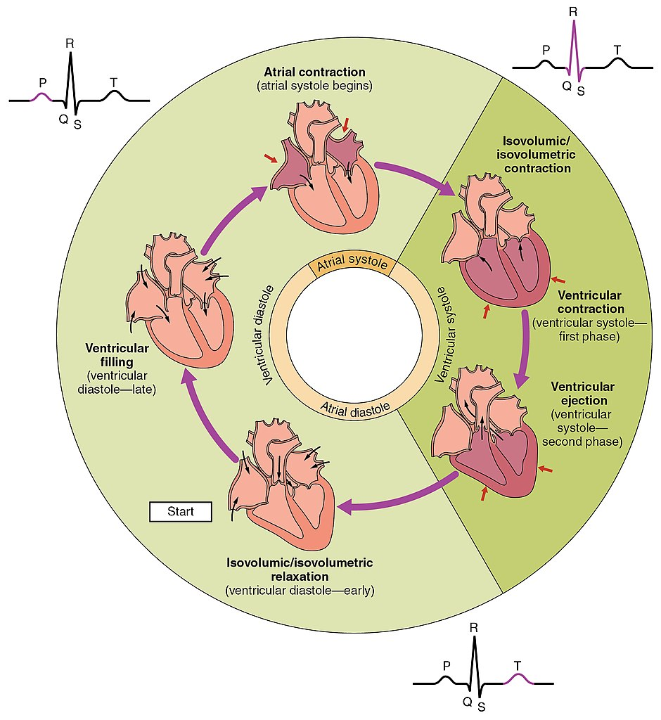 Flow Chart Of Heart Blood Flow: 2027 Phases of the Cardiac Cycle.jpg - Wikimedia Commons,Chart