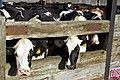 22.9.16 Cattle in Sheffield.jpg