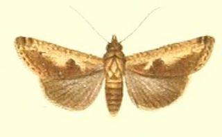 <i>Gyrtona</i> Genus of moths