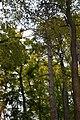61-250-5001 Сосни теребовлянські.jpg