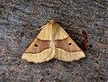 70.241 BF1921 Scalloped Oak, Crocallis elinguaria (3121668511).jpg
