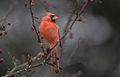 8G7D8644-Cardinal.jpg
