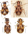 A-synopsis-of-the-tribe-Lachnophorini-with-a-new-genus-of-Neotropical-distribution-and-a-revision-zookeys-430-001-g014.jpg