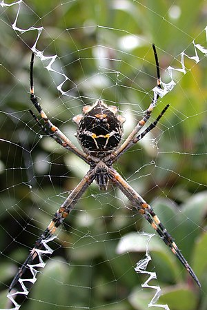 Aggressive mimicry - Argiope argentata and its web