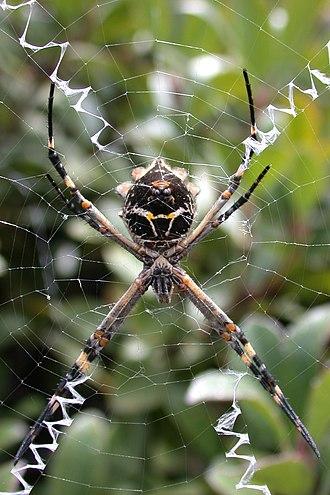 Aggressive mimicry - Argiope argentata and its web