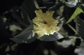 ASC Leiden - F. van der Kraaij Collection - 05 - 004 - A yellow Chinese rose (Hibiscus rosa-sinensis) - Monrovia, Old Road, Montserrado, Liberia, 1975.tif