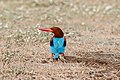 A White Throated Kingfisher on the ground (49893948803).jpg