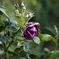 A dark purple rose Capel Manor College Gardens Enfield London England 3.jpg