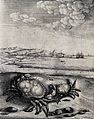 A large and a small crab are lying on a sea-shore. Etching b Wellcome V0022973.jpg