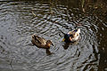 A pond with ducks at City of London Cemetery and Crematorium 01.jpg