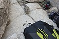 A squirrel has chewed through a backpack for food. (25285333313).jpg