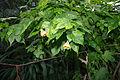 Abutilon sellowianum, Grishko botanical garden (Kiev) 05.jpg