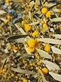 Acacia ligulata blossom.jpg