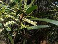 Acacia obtusifolia (5389506231).jpg