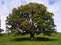 Acer pseudoplatanus Chaltenbrunnen.jpg