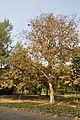 Acharya Jagadish Chandra Bose Indian Botanic Garden - Howrah 2011-01-08 9843.JPG