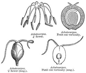 Achatocarpus, Illustration aus E. Le Maout & J.Decaisne (1873).