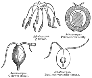 Achatocarpaceae Family of plants