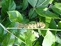 Acherontia styx (Thailand, Nonthaburi, Moo 8 Bangyai, Habitia Bangyai, 18.v.2015) (D. Kruger) L5 2.jpg