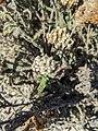 Achillea millefolium 102455561.jpg