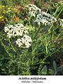 Achillea millefolium 2.jpg