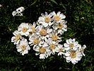 Achillea ptarmica20140713 085.jpg