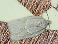 Acleris logiana - Grey birch button - Плоская листовёртка снежная (41334697681).jpg