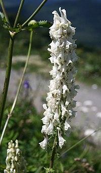 Aconitum orientale 3.jpg
