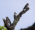 Acorn woodpeckers on Angel Island (40111).jpg