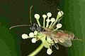 Acrodactyla.quadrisculpta2.-.lindsey.jpg