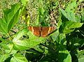 Adelpha salmoneus ^ Sister. Tribe Limenitidini - Flickr - gailhampshire.jpg