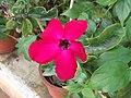 Adenium obesum-1-aruna planta medica-yercaud-salem-India.JPG