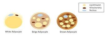 Adipocyte types.jpg