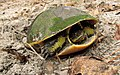 Adult Chicken Turtle laying eggs.jpg