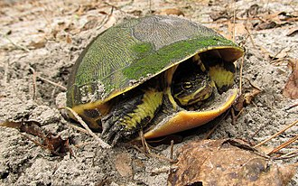 Chicken turtle - Adult chicken turtle laying eggs, Florida