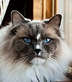 Adult Ragdoll Cat ACAS-RG-11.jpg