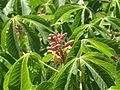 Aesculus pavia rosea nana - Flickr - peganum (1).jpg