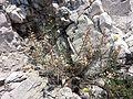 Aethionema saxatile sl4.jpg