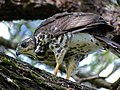 African Goshawk (Accipiter tachiro) juvenile (12930963153).jpg