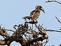 African Grey Hornbill (44750617811).jpg