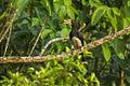African Pied Hornbill - Kakum NP - Ghana 14 S4E2286 (16177823316).jpg