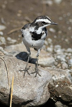 African Pied Wagtail, Motacilla aguimp in Kruger National Park (12147823453).jpg