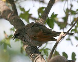 Agelaioides badius -Buenos Aires -Argentina-8